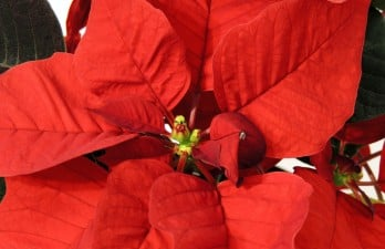 How to prolong life of festive plants