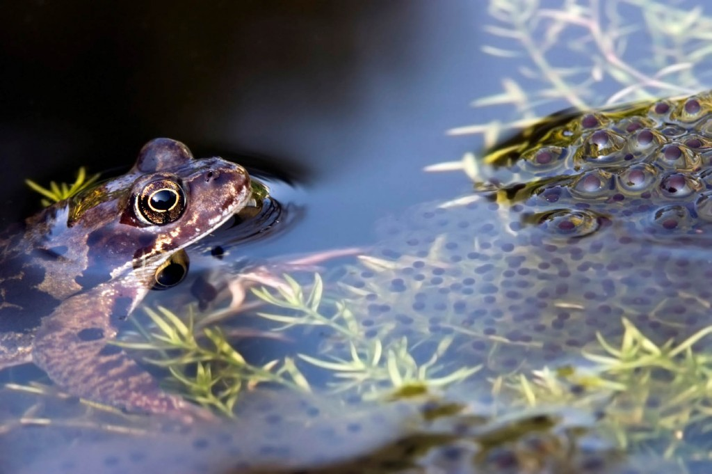 Brown frog and frogspawn