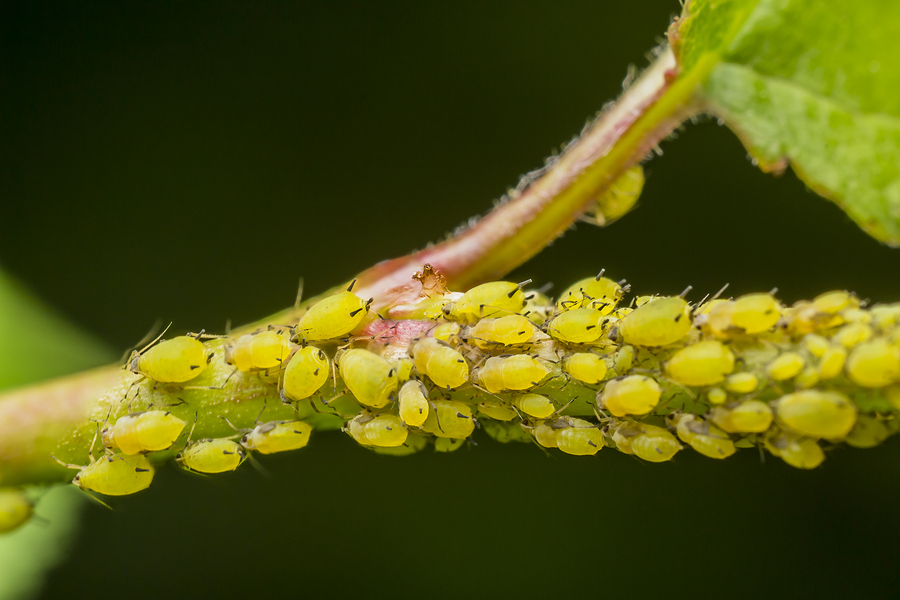 Common Aphid Infestation