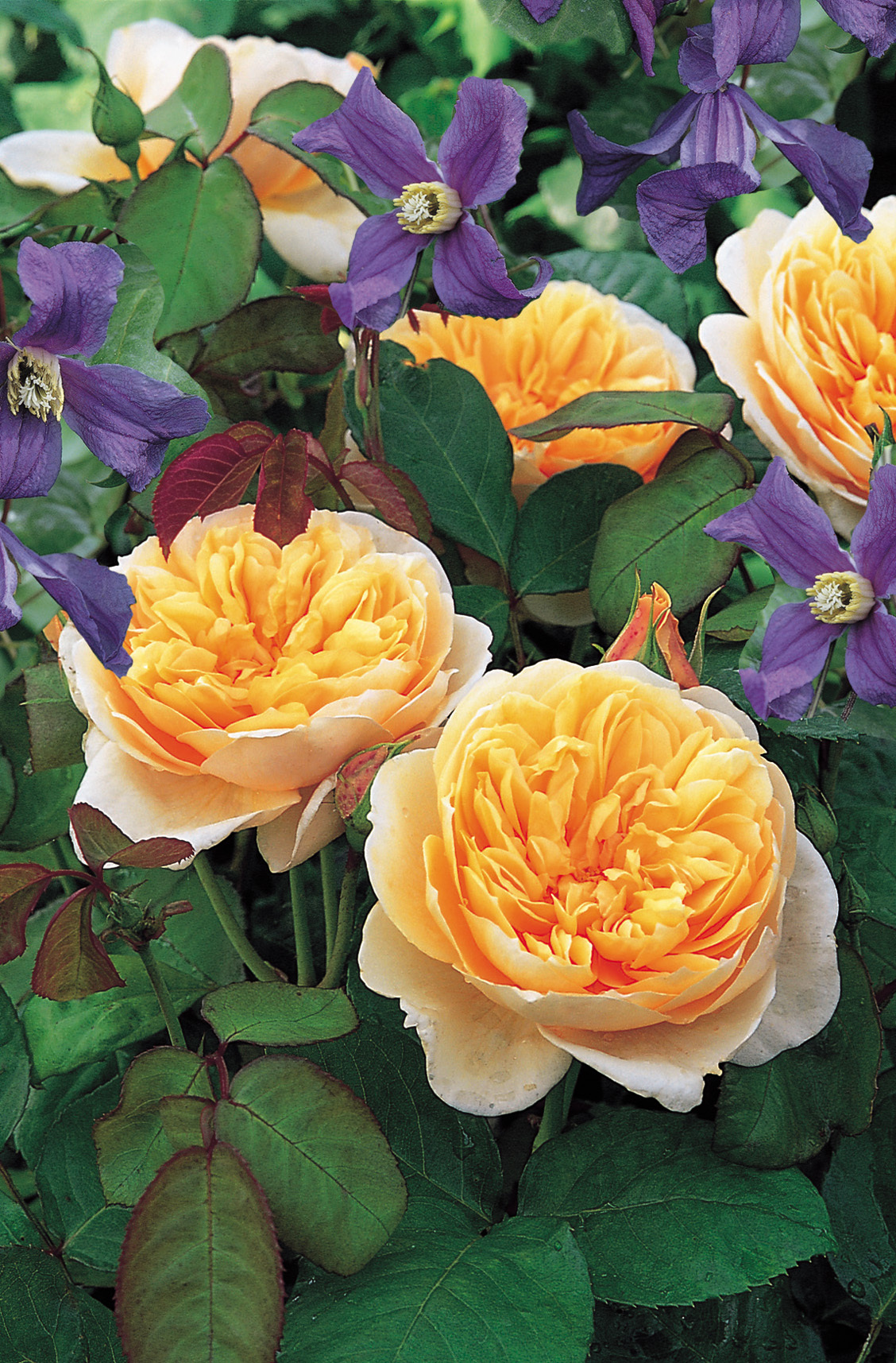 Rosa 'Jayne Austin' (Ausbreak) David Austin Roses