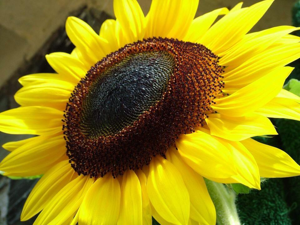 Sunflower says Sumer by Colin Hawksworth