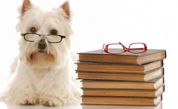 Westie Laying Beside Stack Of Books