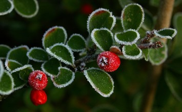 the leaves and berries of a coton easter plant lined with ice crystals on a cold and frosty winter's morning