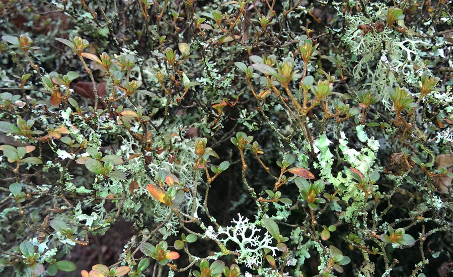 Lichen on evergreen Azalea