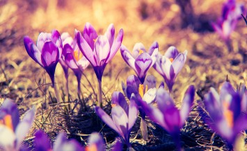 Purple crocus flower on the spring meadow. Carpathian, Ukraine,