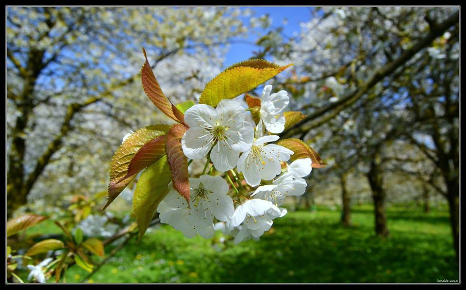 Springtime in the cherry orchard in the Netherlands by Ronald Verwijs