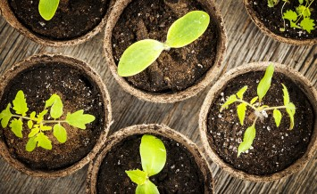 Potted seedlings growing in biodegradable peat moss pots from ab