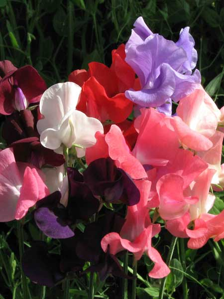 Spencer type Sweet Pea