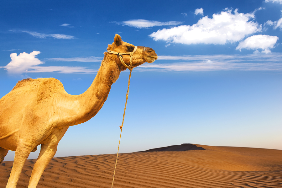 Camel and desert sand dunes panoramic landscape. Adventure trave