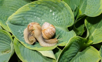 two big snails on a green hosta leafs