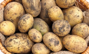 A basket of freshly harvested Organic Potatoes with soil on them