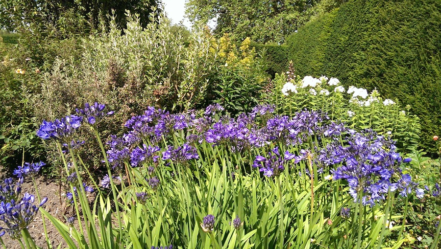 Agapanthus with white Phlox