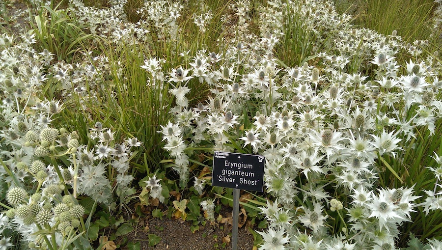 Eryngium Silver Ghost at Wisley, covered with bees.