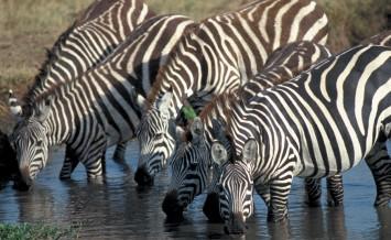 Katavi-Zebra