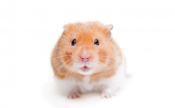 Golden hamster, Mesocricetus auratus, isolated on white