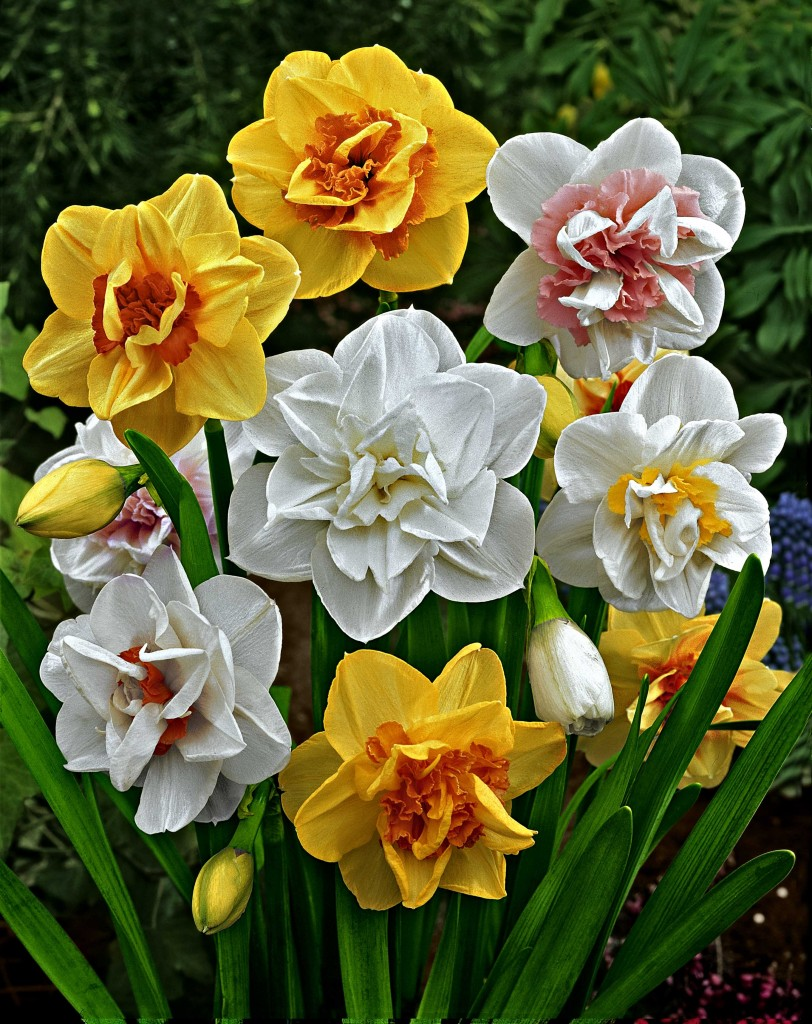 Double Flowered Narcissi Mixed