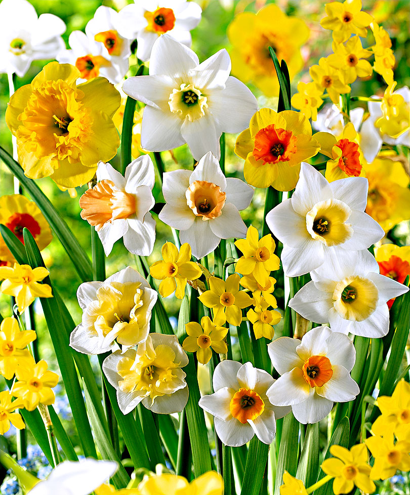 Fragrant Narcissi Mixed