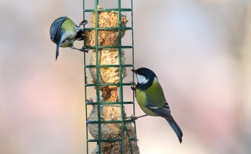 two different species (great tit parus major and blue tit parus caeruleus) standing together on bird feeder