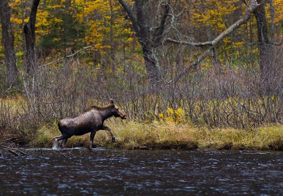 Moose_Qu_bec_Canada_1583 (1)