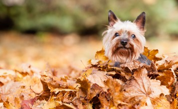 Yorkshire Dog on the autumn leaves blur