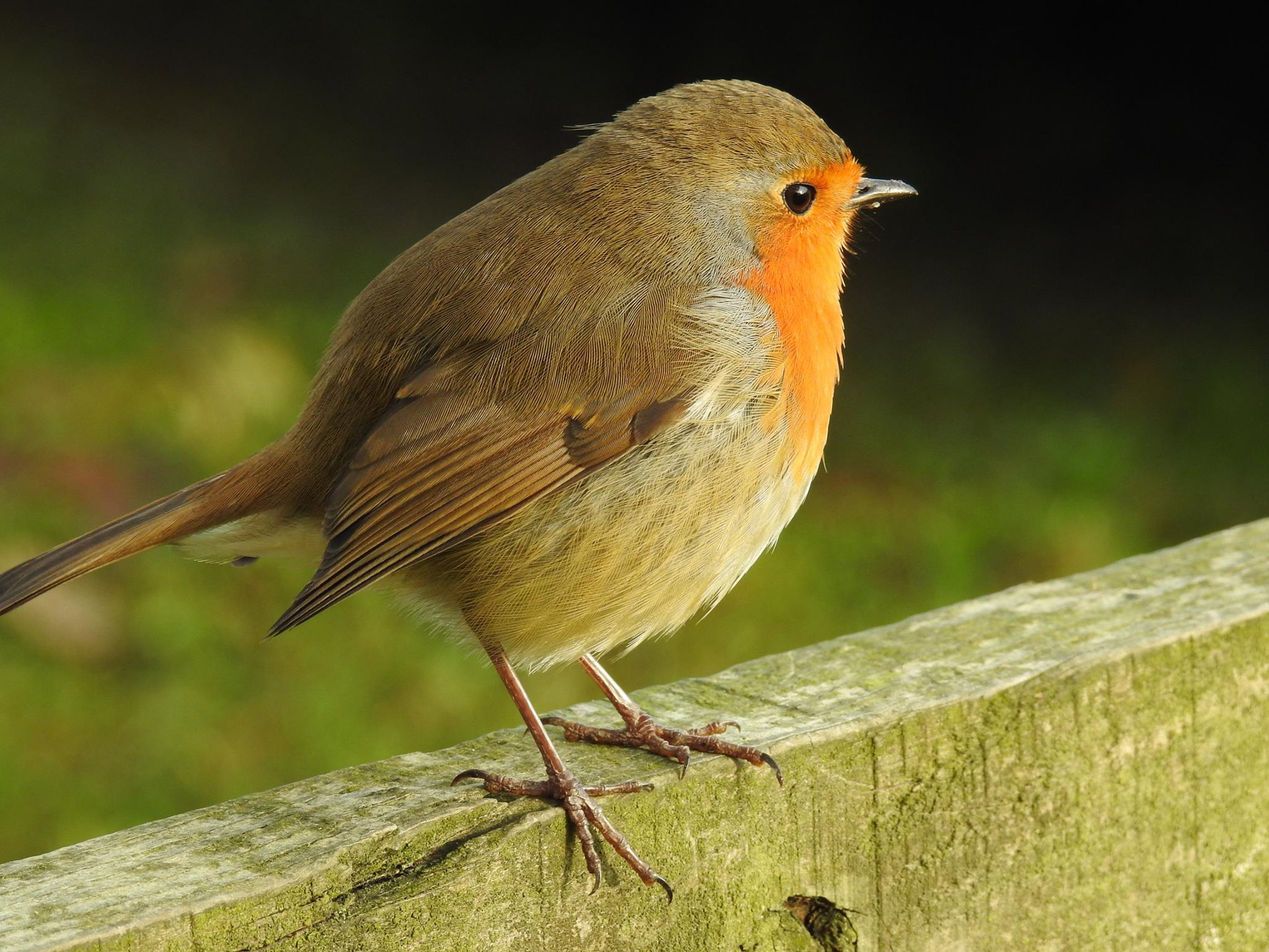 Robin by Janice Wilkinson