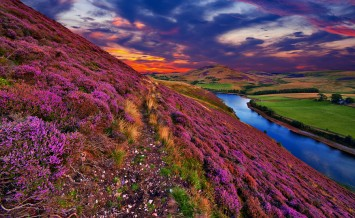 Vivid colorful landscape scenery with a footpath through the hill covered by violet heather flowers and green valley river mountains