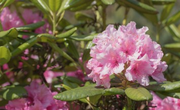 Rhododendron (Rhododendron ponticum) pink flower. Green leafs of rhododendron are in the background.