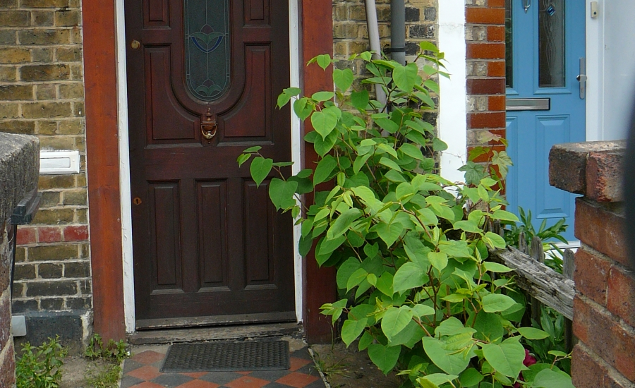 Japanese knotweed at front door