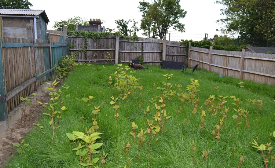 Japanese knotweed in lawn