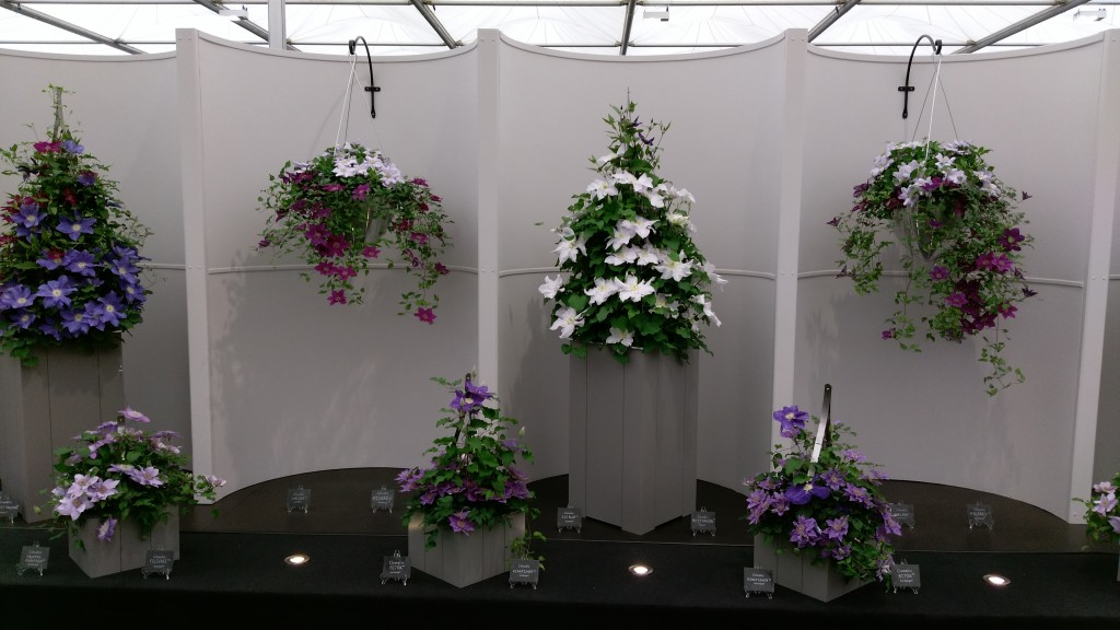 Raymond Evison clematis at Chelsea flower show.
