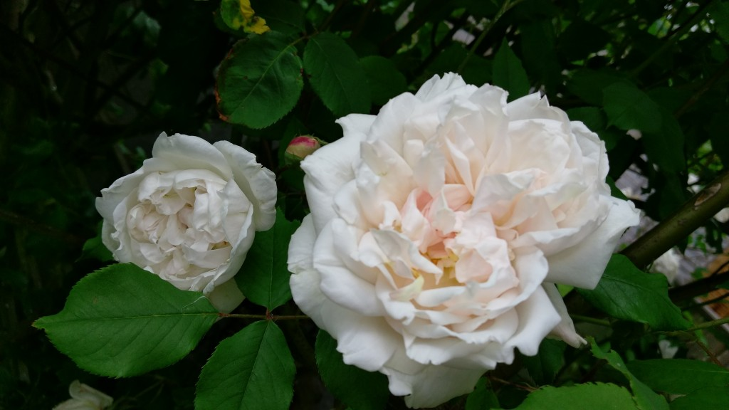 Climbing Rose Madame Alfred Carriere