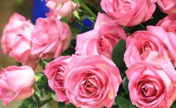 Pink roses,beautiful pink roses blooming in the garden