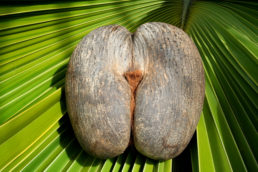 Female Coco De Mer Nut