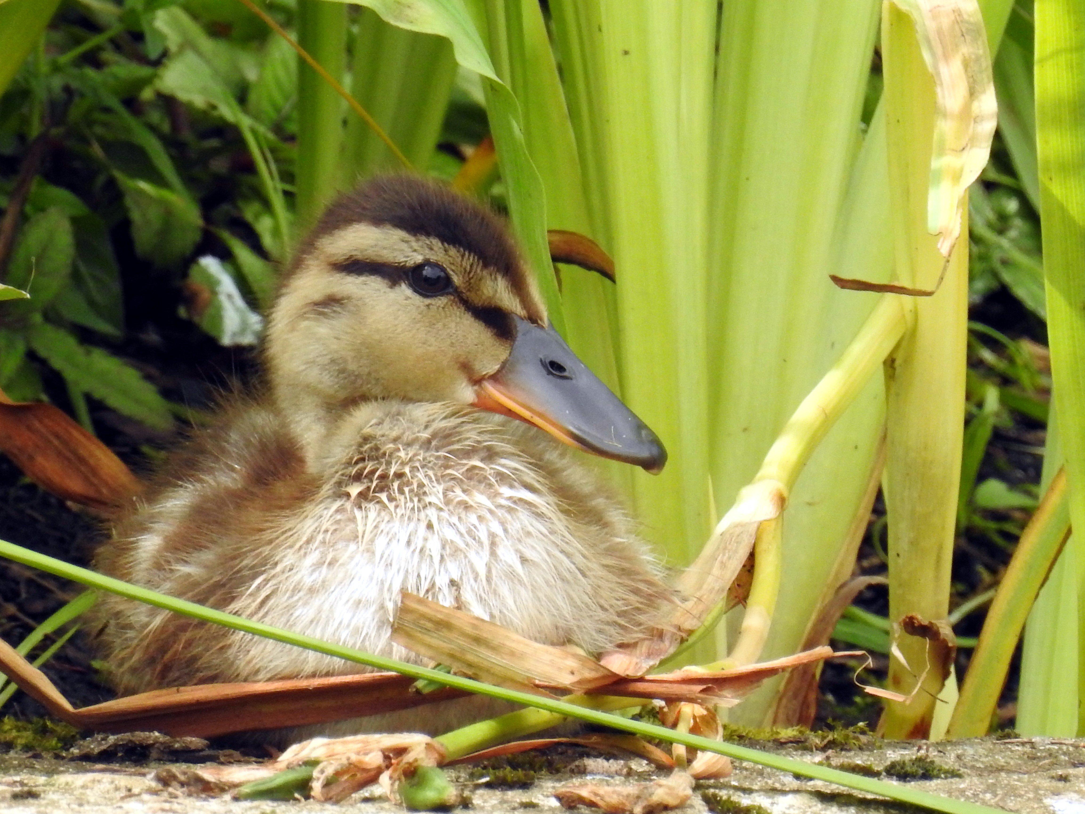 Lone Duckling by Janice Wilkinson