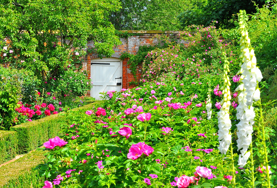 English walled garden full of old roses and foxgloves