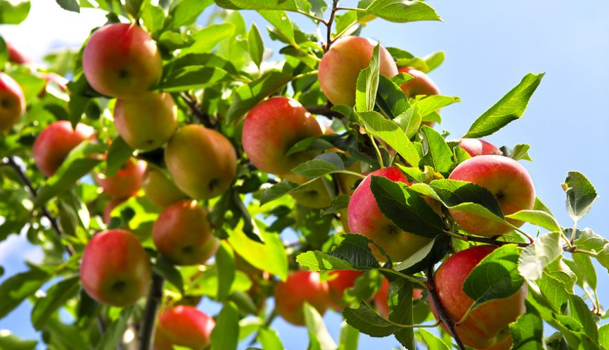 Organic ripe apples ready to pick on tree branches