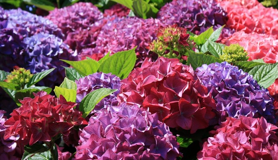 Purple pink blue and red Hydrangea flowers
