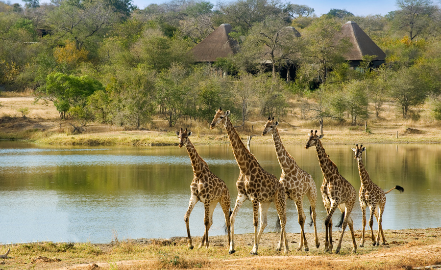 Giraffes at Chitwa