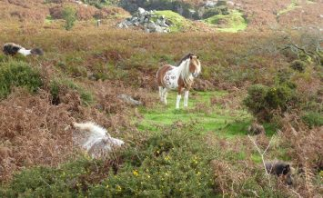 Guarding the pony creche on Dartmoor by Susie Groom