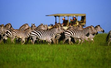 Zebra-on-game-drive