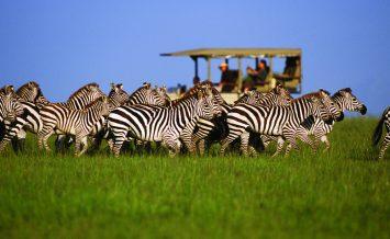 Zebra-on-game-drive