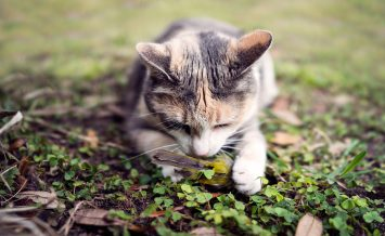 Closeup frontal view of calico cat with its recently caught wild bird.