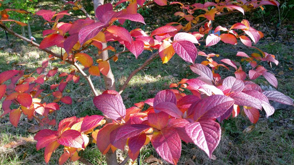 Autumn leaves of Stewartia rostrata
