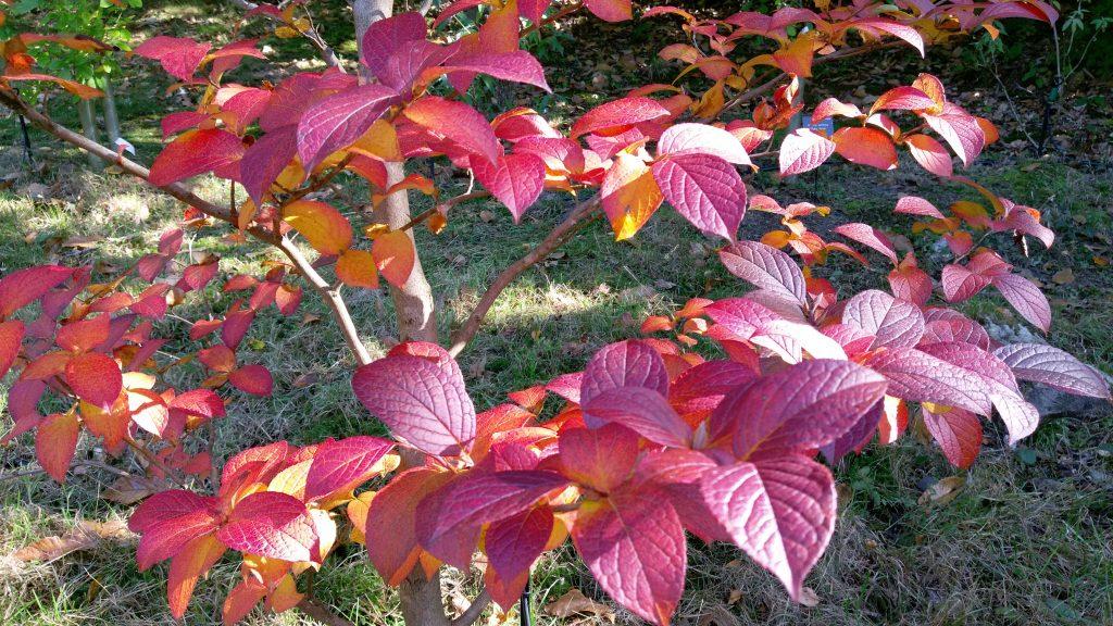 Autumn leaves of Stewartia rostrata