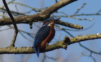Kingfisher at Trent and Mersey canal by Sue Kingdon