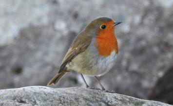 Rockin Robin by Janice Wilkinson
