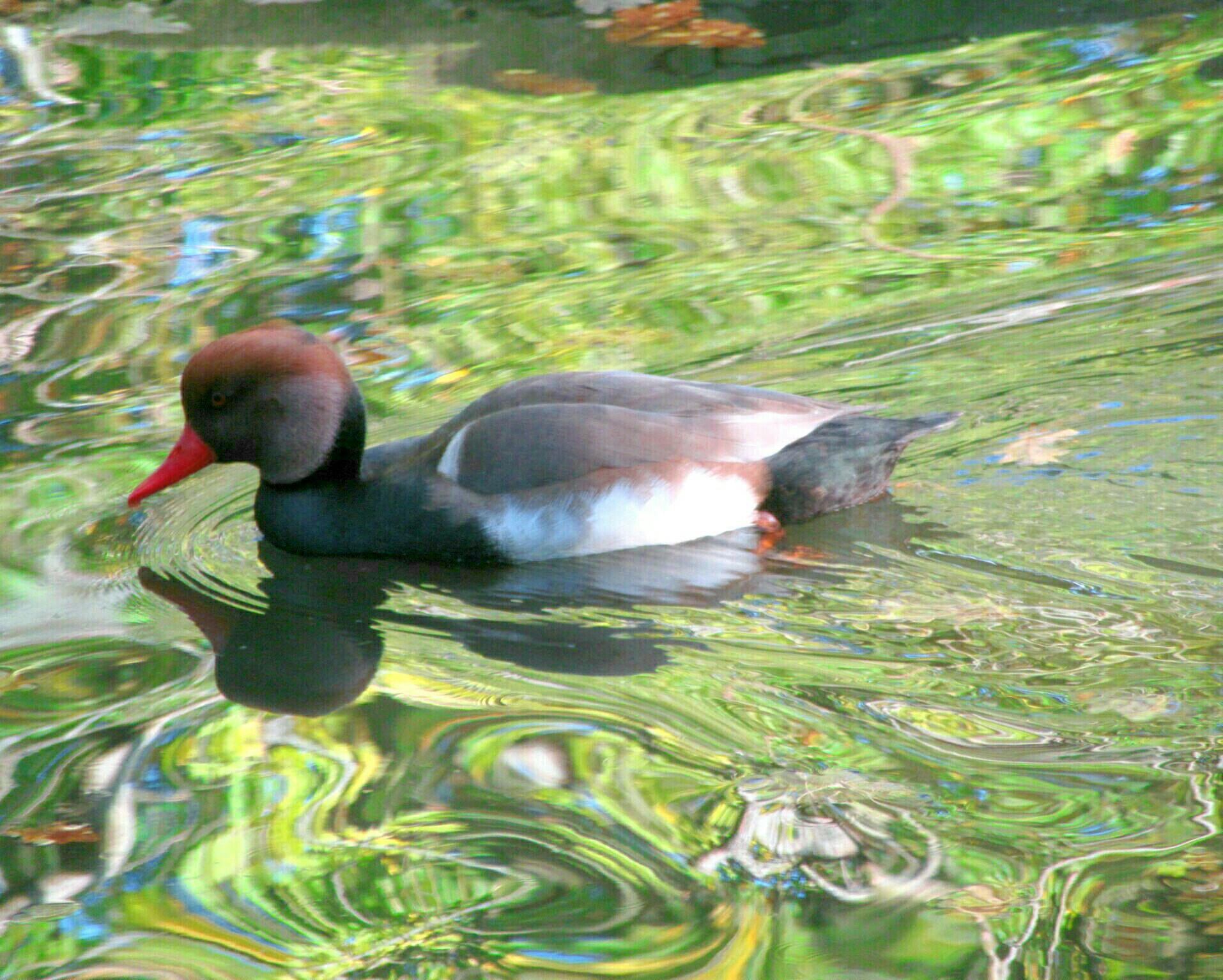 A red crested pochard by Yvonne Youd