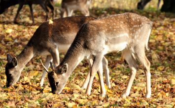 Deer in Bushy Park by Catriona Honda