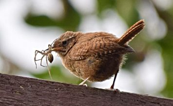 Jenny Wren having breakfast by Sharon Thomson