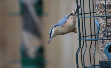 Nuthatch enjoying the seed by Barbara Wooldridge